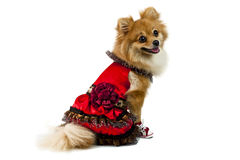 The cute Pomeranian dog over white Stock Photos