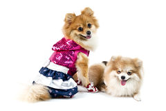 The cute Pomeranian dog over white Royalty Free Stock Photos