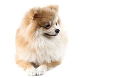 The cute Pomeranian dog over white Royalty Free Stock Photography