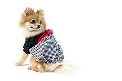 The cute Pomeranian dog over white Stock Image