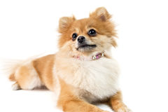 The cute Pomeranian dog over white Stock Images