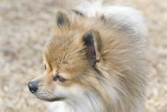 Cute Pomeranian Dog in Profile. Closeup side view of a Pomeranian dog Stock Photos