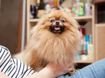 Cute Pomeranian dog sits in the hands of the mistress Stock Photo