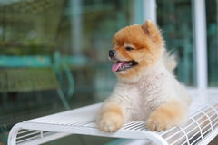 Cute pomeranian dog smiling, happy pet laying on chair Royalty Free Stock Photography