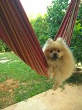 A Pomeranian dog swings on a hammock in the garden royalty free stock image