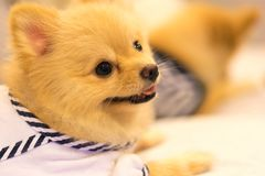 Cute pomeranian dog wearing sailor or student fashion shirt, smiling on the sofa. Happy domestic pet concept Stock Photos