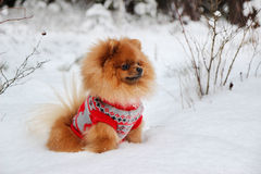 Cute pomeranian dog in winter forest. Dog in snowy forest. Clever dog Royalty Free Stock Photography