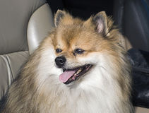 Cute Pomeranian Going For a Ride Stock Photography