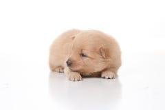 Cute Pomeranian Newborn Puppy Royalty Free Stock Photo