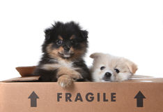 Cute Pomeranian Puppies Inside a Cardboard Box Stock Images