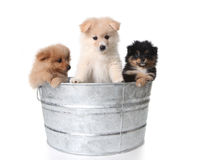 Cute Pomeranian Puppies in a Metal Washtub Stock Image