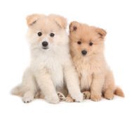 Cute Pomeranian Puppies Sitting Together on White Stock Image