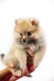 Cute Pomeranian Puppy Stock Photo