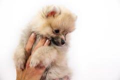 Cute Pomeranian Puppy Royalty Free Stock Photos