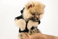 Cute Pomeranian Puppy On Hand Royalty Free Stock Photos