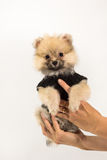 Cute Pomeranian Puppy On Hand Royalty Free Stock Image