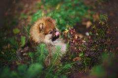 Cute Pomeranian puppy licks muzzle tongue. Outdoors royalty free stock image