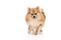 Cute pomeranian puppy looking down on white background Stock Image