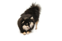 Cute pomeranian puppy looking down on white background Royalty Free Stock Images