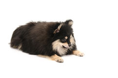 Cute pomeranian puppy looking down on white background Stock Photo