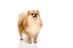Cute pomeranian puppy looking up on white background Royalty Free Stock Photography