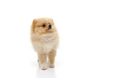 Cute pomeranian puppy looking up on white background Stock Image