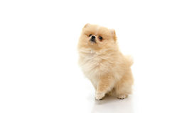 Cute pomeranian puppy looking up on white background Stock Photo