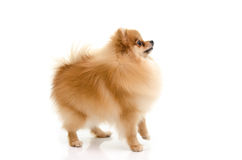 Cute pomeranian puppy looking up on white background Royalty Free Stock Image