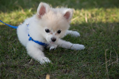 Cute pomeranian puppy playing feather green grass Stock Photo