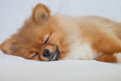 Cute Pomeranian puppy sleeping on a white backgroundlies Stock Photo