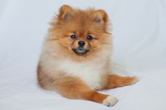 Cute Pomeranian puppy smiling on a white background Stock Photo