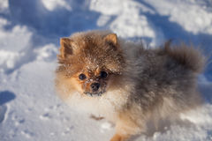 Cute Pomeranian puppy on a walk in the snow on a winter day Stock Images