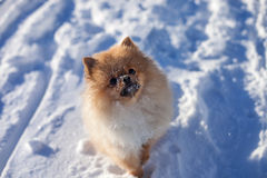 Cute Pomeranian puppy on a walk in the snow on a winter day. Cute redhead Pomeranian puppy on a walk in the snow on a winter day royalty free stock photography