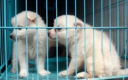 Cute pomeranian pups inside a cage on sale display Stock Images