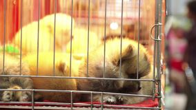 Cute pomeranian pups sleeping inside a cage on display for sale stock video
