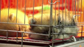 Cute pomeranian pups sleeping inside a cage on display for sale stock video footage