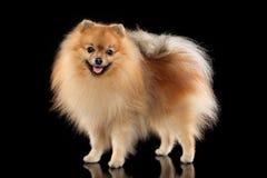 Cute Pomeranian Spitz dog. Happy Pomeranian Spitz dog ib stand on black background stock photos