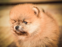 Cute Pomeranian Spitz dog puppy sitting at home portrait. Stock Photography