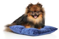 Cute Pomeranian Spitz puppy on blue pillow. Portrait of Pomeranian Spitz puppy lying on blue pillow. Studio shooting royalty free stock photography