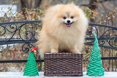 Cute pomeranian spitz is standing on a wicker basket. royalty free stock image