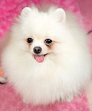 Cute Pomeranian white. Image a cute  Pomeranian white Stock Photos