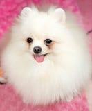 Cute Pomeranian white Stock Photos