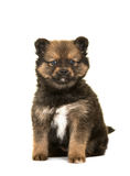 Cute pomsky puppy. Cute sitting pomsky a mix between husky and a pomeranian puppy dog isolated on a white background royalty free stock photography