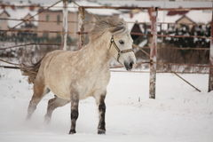 Cute pony galloping in the snow Stock Photo