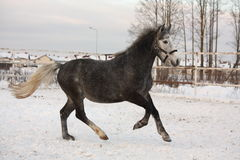 Cute pony galloping in the snow Royalty Free Stock Images