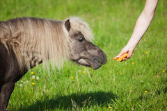 Cute pony getting feed Stock Photos