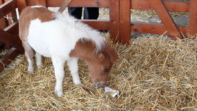 Cute pony horse baby. In stable stock footage