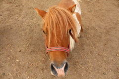 Cute pony horse Stock Images