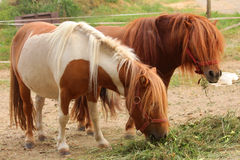 Cute pony horses Stock Images