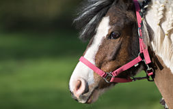 Cute pony in red halter Royalty Free Stock Images